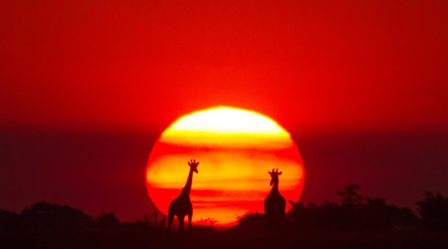 Two Giraffe silhouettes in front of a deep red African sunset in Botswana.