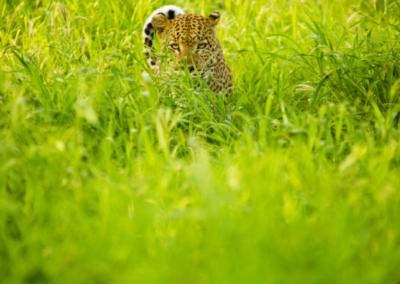 Leopard walking in high green grass