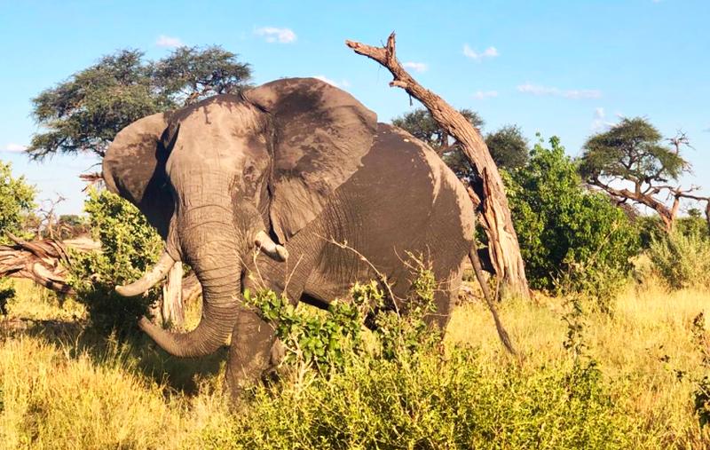 O Bona Moremi Elephant gallery