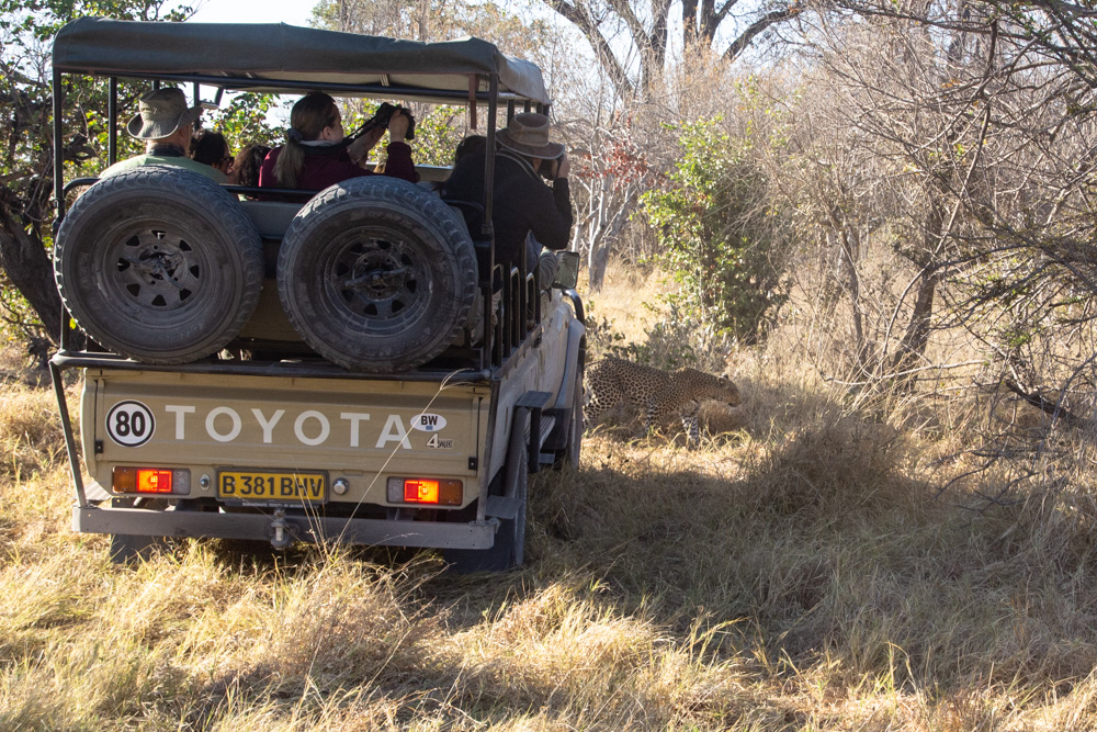 A wild Leopard walking past a game viewing vehicle in Khwai, Botswana.