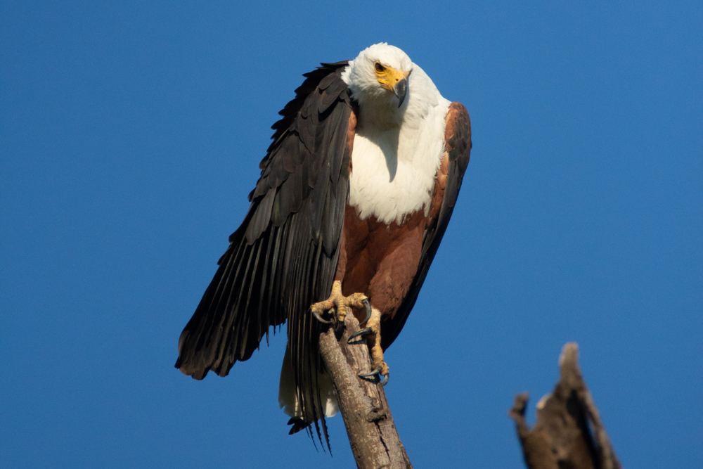 An African Fish Eagle perching on a dead tree. His loud call is known as the Sound of Africa.