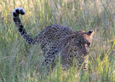 Leopard walking through the high grass in Khwai