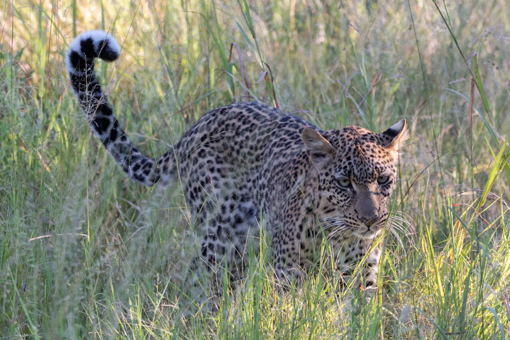 A wild leopard walking through the thick Bush in Khwai