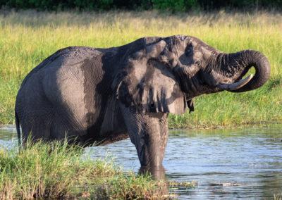 Elephant drinking from Khwai River