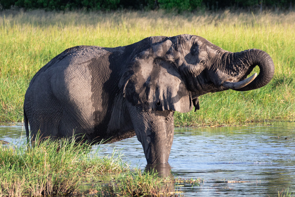 Elephant drinking from the Khwai River in Botswana
