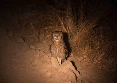 Spotted Eagle Owl at night in the light of a torch