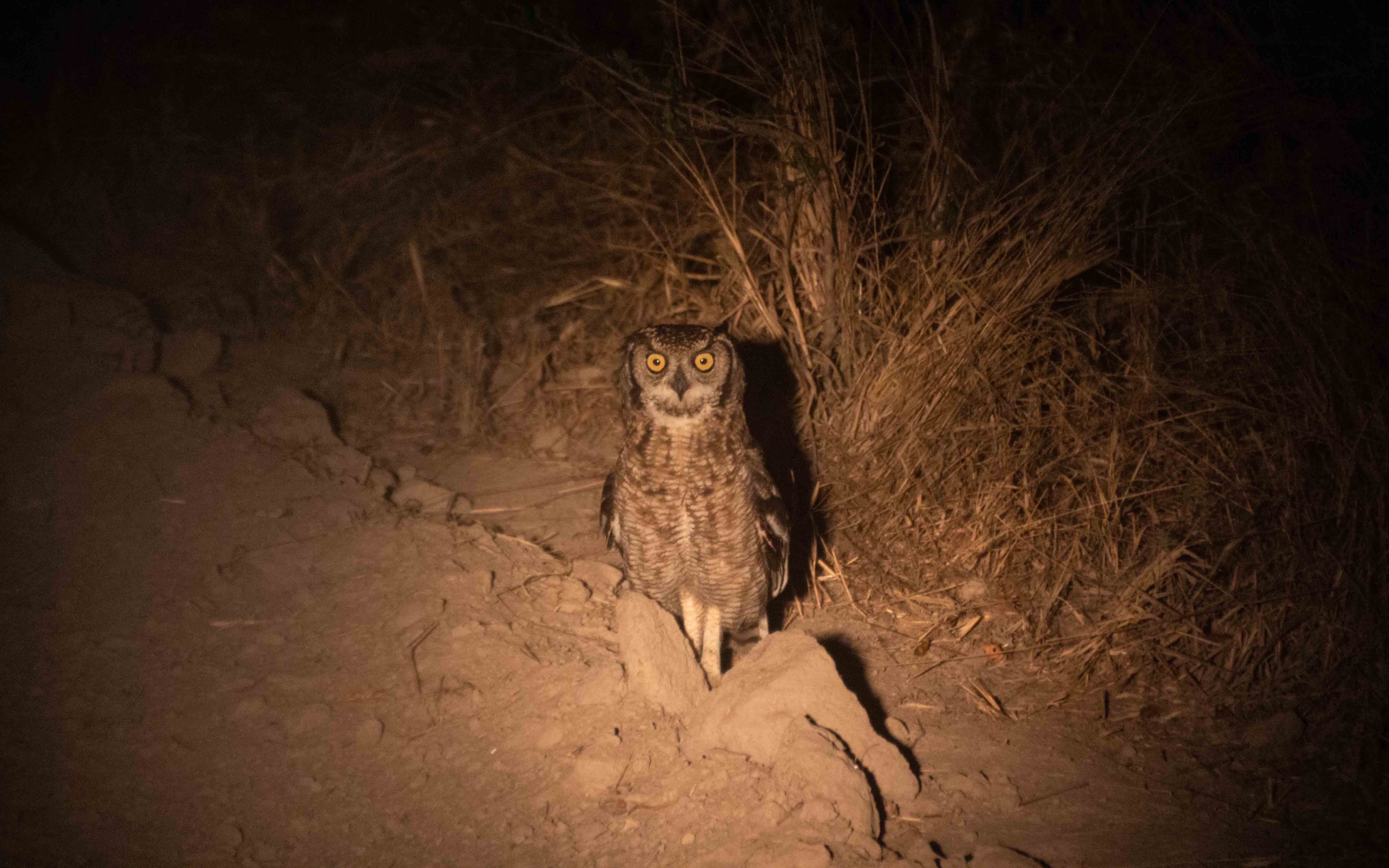 Spotted eagle Owl in the light of a torch on a night Safari in Khwai.