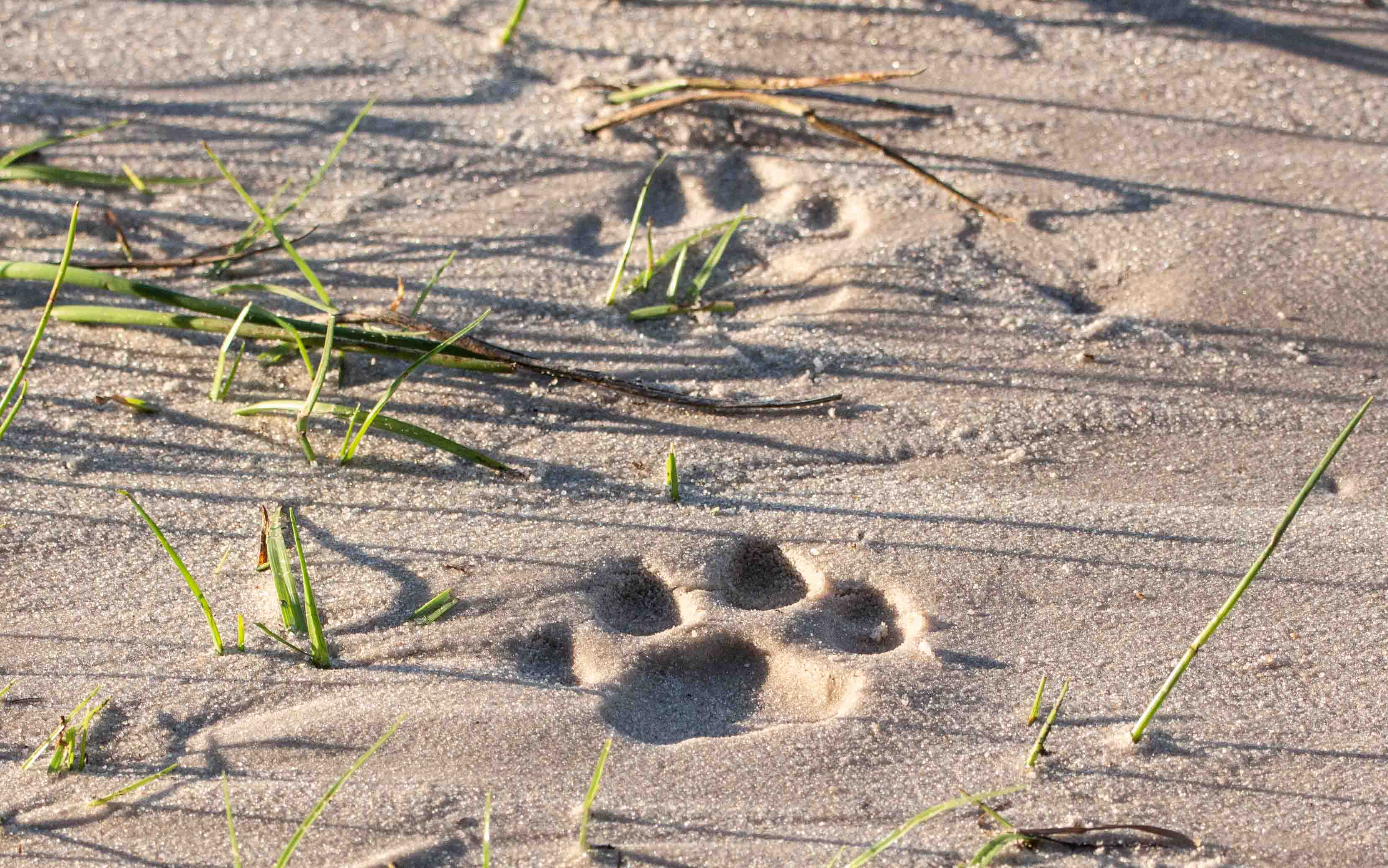 Leopard tracks found in the deep sand of the Khwai river bed in Botswana.